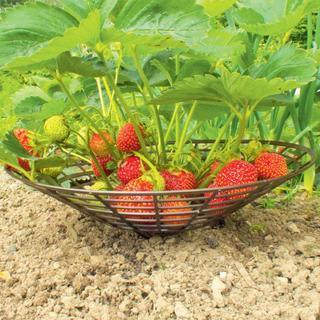 Suporturi din plastic pentru susținerea căpșunilor